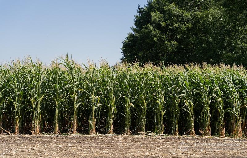 Правила розрахунку норм висіву кукурудзи в різних ґрунтово-кліматичних зонах фото 2 LNZ Group