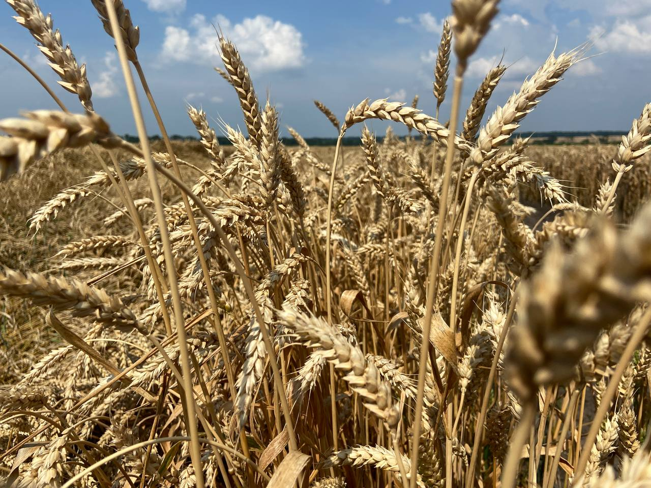 Озима пшениця на LNZ-хаб: особливості, досліди та врожайність фото 5 LNZ Group