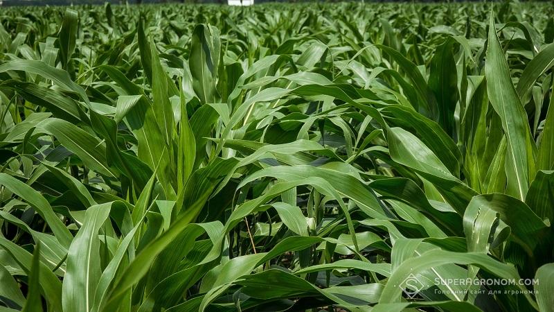 Результати агросезону 2020: Які гібриди кукурудзи показали себе найкраще? фото 2 LNZ Group