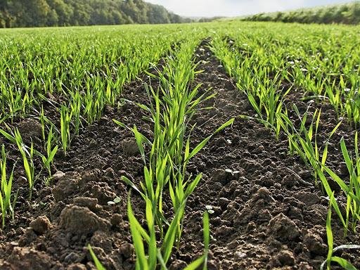 Засоби захисту рослин для успішного вирощування озимих зернових фото 1 LNZ Group