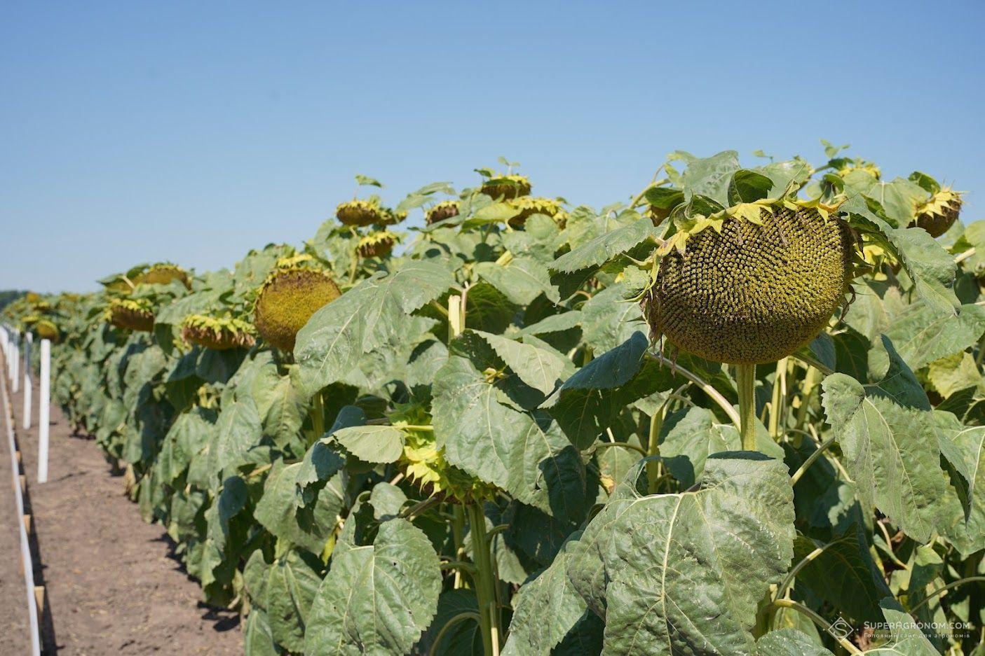 Випробування гібридів кукурудзи, соняшнику, та технологій вирощування культур на Черкащині: що побачили аграрії фото 4 LNZ Group