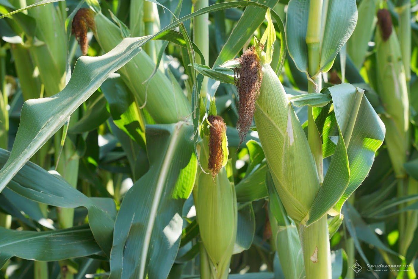 Випробування гібридів кукурудзи, соняшнику, та технологій вирощування культур на Черкащині: що побачили аграрії фото 3 LNZ Group