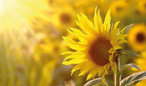 ЗЗР для успішного вирощування соняшнику. На які фактори звертати увагу фото 3 LNZ Group