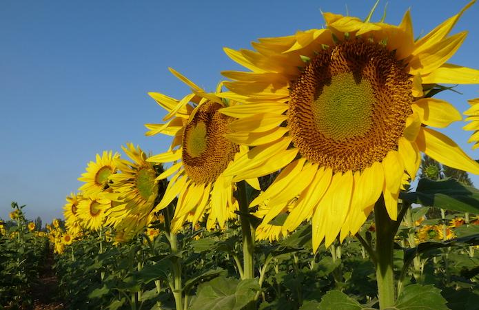 Селекція соняшнику Strube — ваш надійний прибуток фото 4 LNZ Group