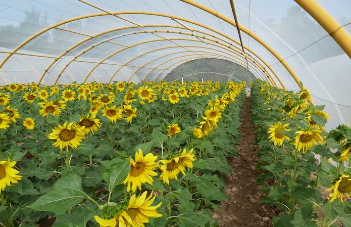 Селекція соняшнику Strube — ваш надійний прибуток фото 2 LNZ Group
