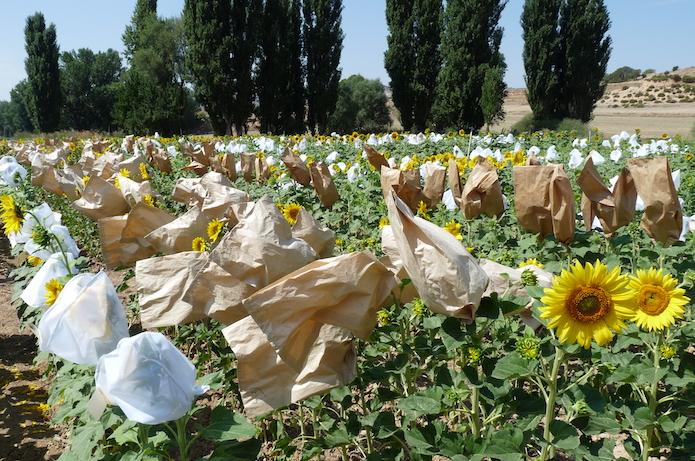 Селекція соняшнику Strube — ваш надійний прибуток фото 3 LNZ Group