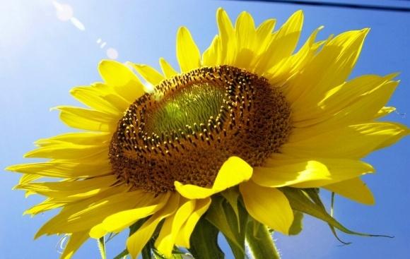 Ґрунтові гербіциди на соняшнику та правила їх застосування фото 1 LNZ Group