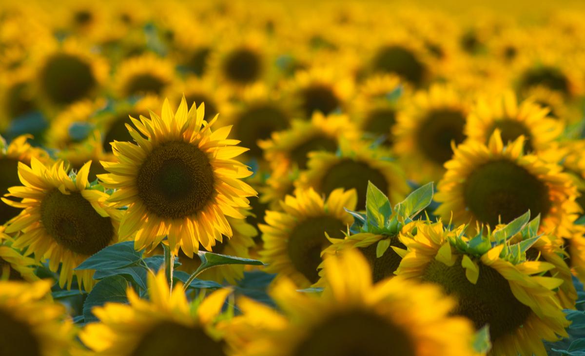 Strube закликає остерігатися підробок насіння соняшнику фото 1 LNZ Group
