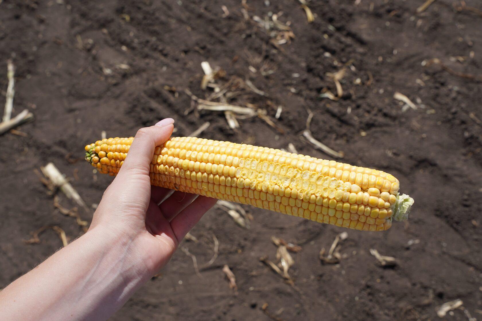 Не існує кукурудзи подвійних стандартів — ПРО ПЕРЕВАГИ СИЛОСНИХ ГІБРИДІВ UNIVERSEED фото 3 LNZ Group