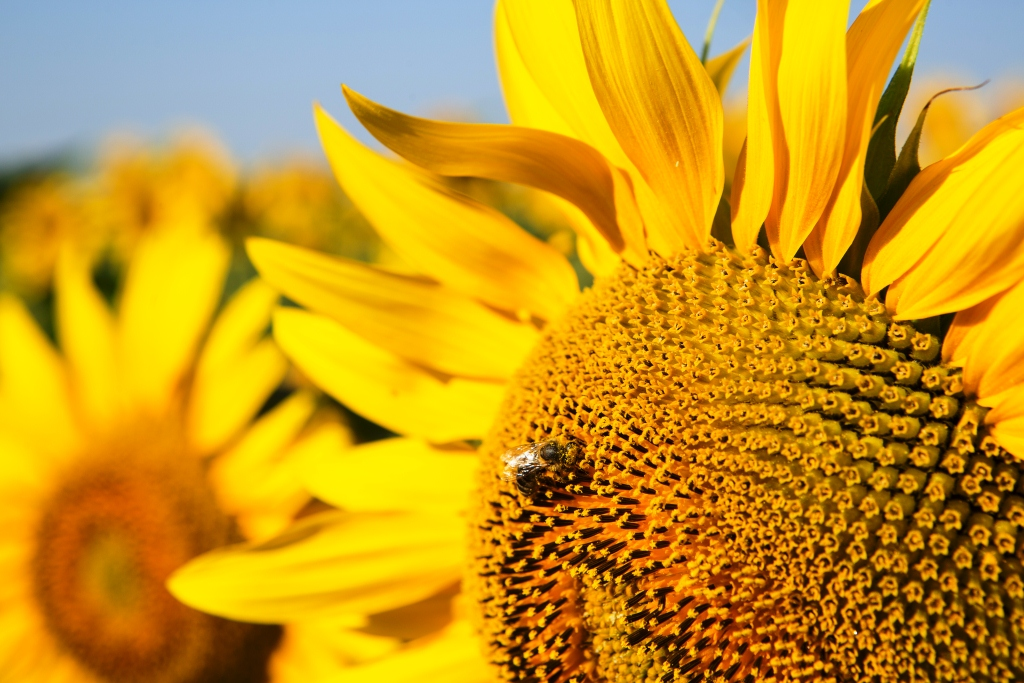ЗЗР для успішного вирощування соняшнику. На які фактори звертати увагу фото 1 LNZ Group