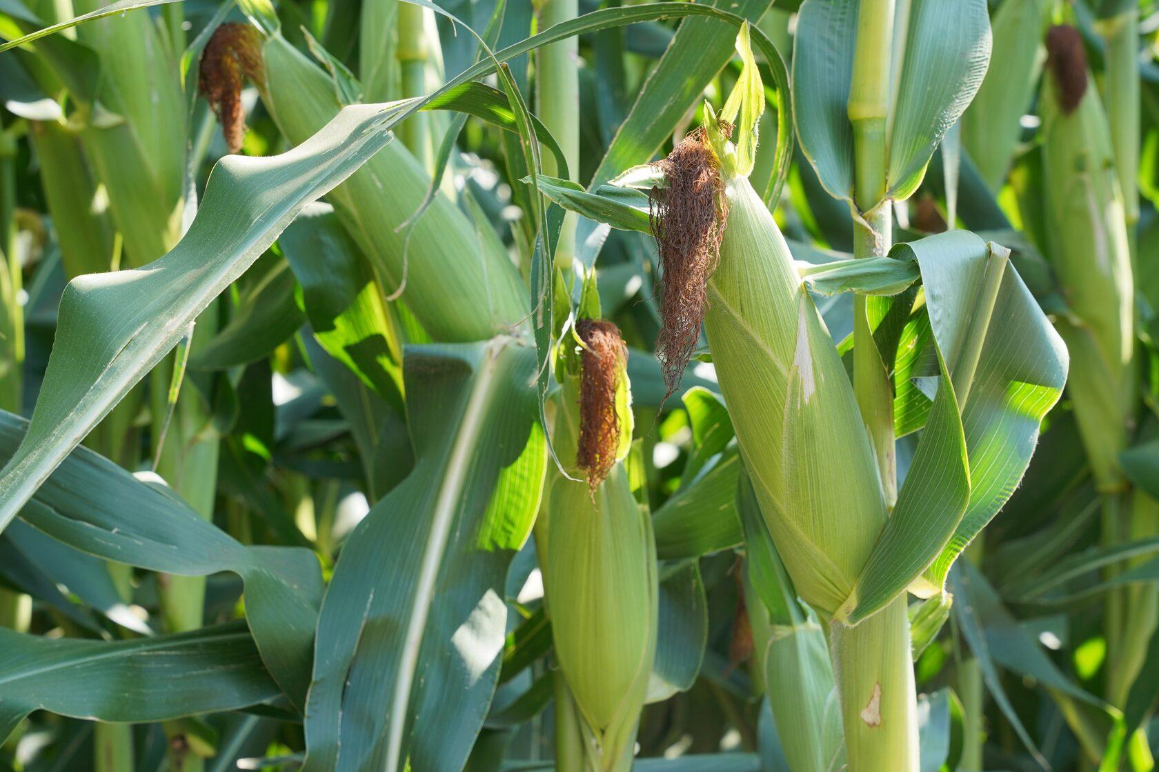Не існує кукурудзи подвійних стандартів — ПРО ПЕРЕВАГИ СИЛОСНИХ ГІБРИДІВ UNIVERSEED фото 4 LNZ Group