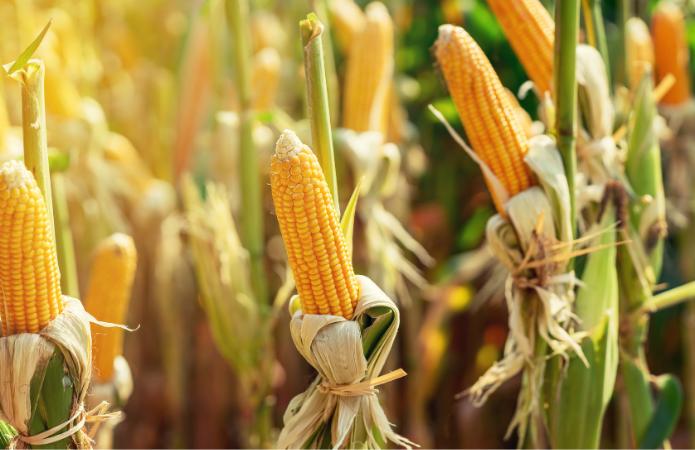 Канадські гібриди кукурудзи зміцнять присутність на ринку України фото 1 LNZ Group
