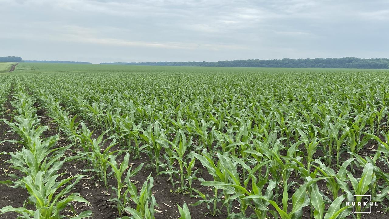 Кукурудза на силос — технологія вирощування та аспекти силосування фото 6 LNZ Group