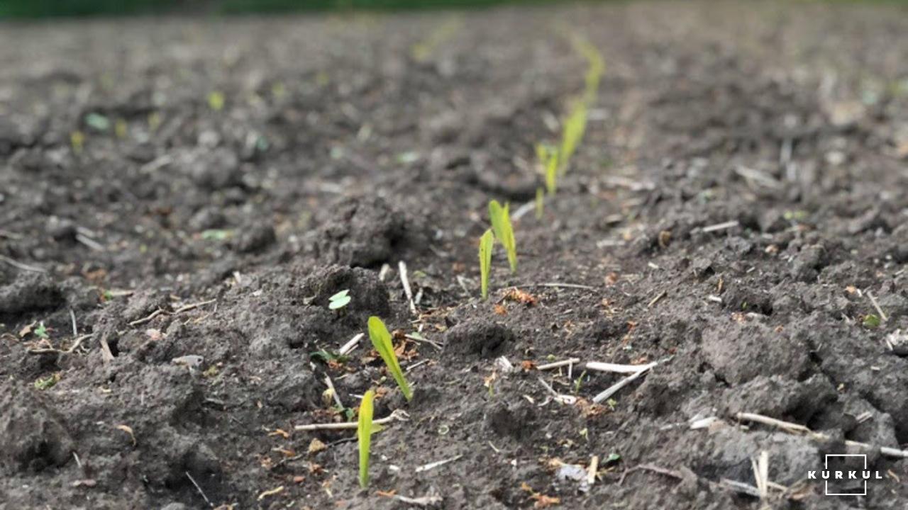 Кукурудза на силос — технологія вирощування та аспекти силосування фото 5 LNZ Group