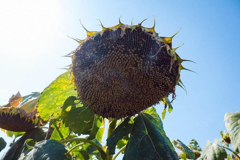 Леонід Чорний: Розумні підходи у вирощуванні соняшнику та кукурудзи в Центральному регіоні фото 5 LNZ Group