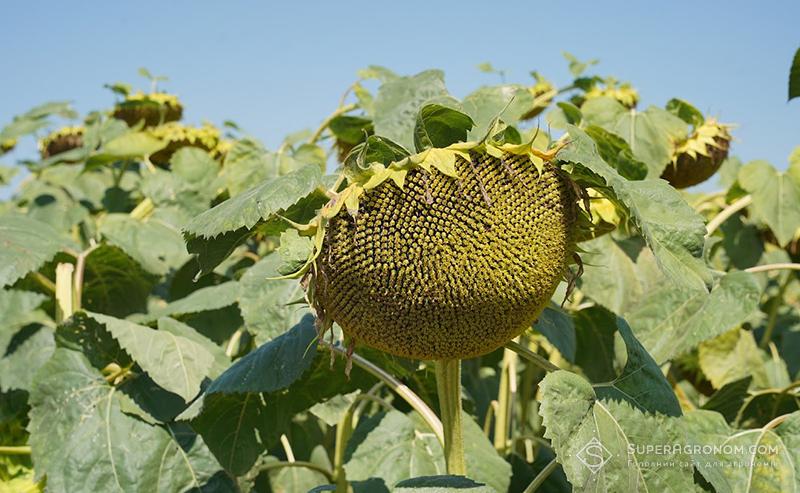 7 новинок гібридів соняшнику, стійких до посухи, хвороб та з високим потенціалом, — німецька селекція в Україні фото 5 LNZ Group