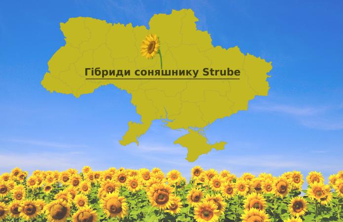 Ріст та розвиток гібридів соняшнику Strube на Черкащині фото 1 LNZ Group